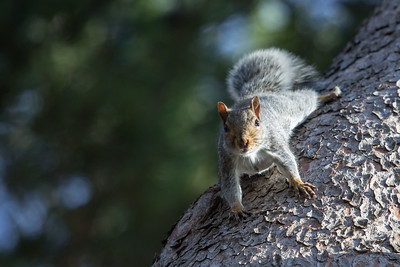 Grey squirrel, Sciurus carolinensis, scurrying along pine tree