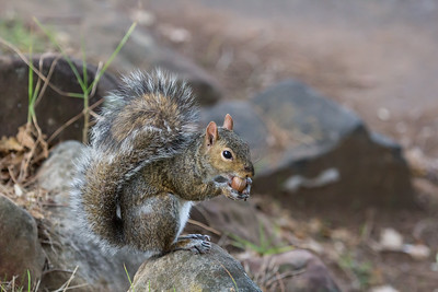 Grey Squirrel, Sciurus carolinensis, eating an acorn at the Cape Company Gardens, Cape Town