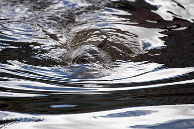 Cape Fur seal swimming half submerged, mesmerising light reflections on water ripples, eddies and water viscosity playing hypnotic tricks,Hout Bay Harbour Cape Town