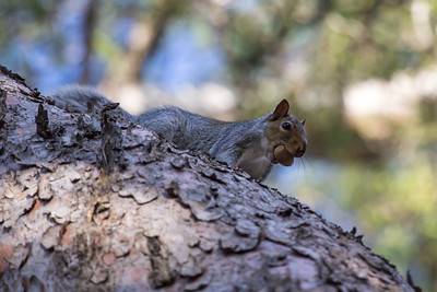 Grey Squirrel, Sciurus carolinensis, with acron in mouth,scurrying along pine tree
