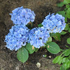 Blue Hydrangea. Someone liked it so much they stole it! (2008)