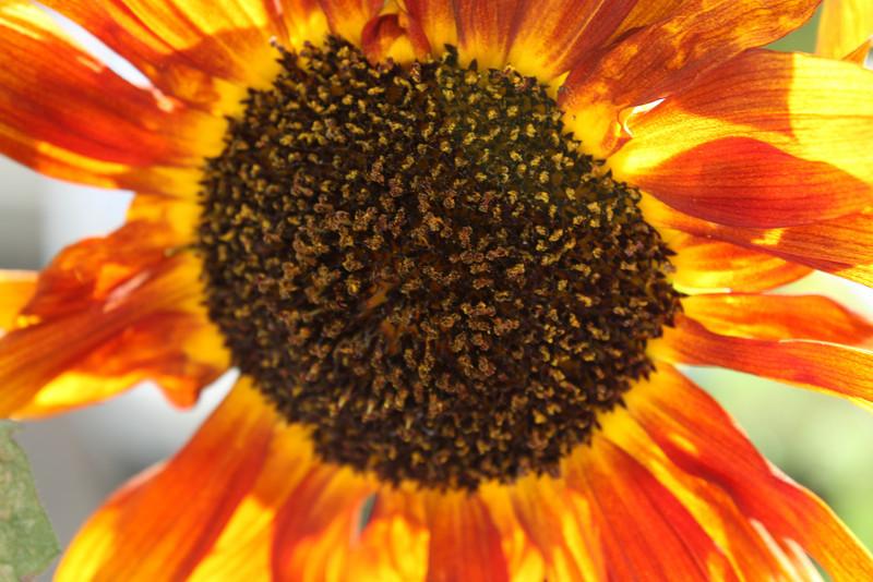 Sunflower star burst. (2010)