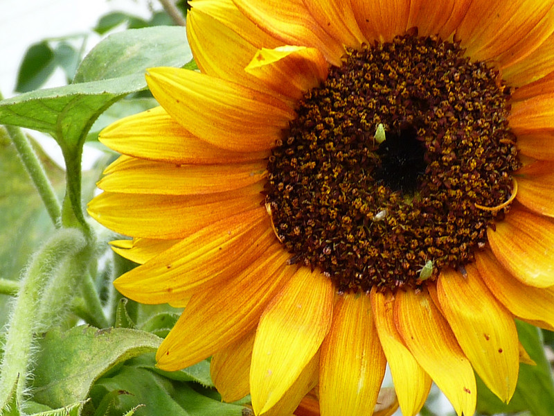 Sunflower with bugs. (2010)