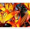 Fiery Lilies (07.2011)