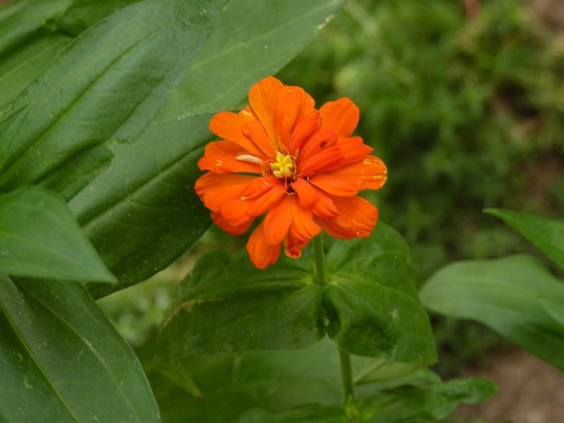 Garden flower. (2010)