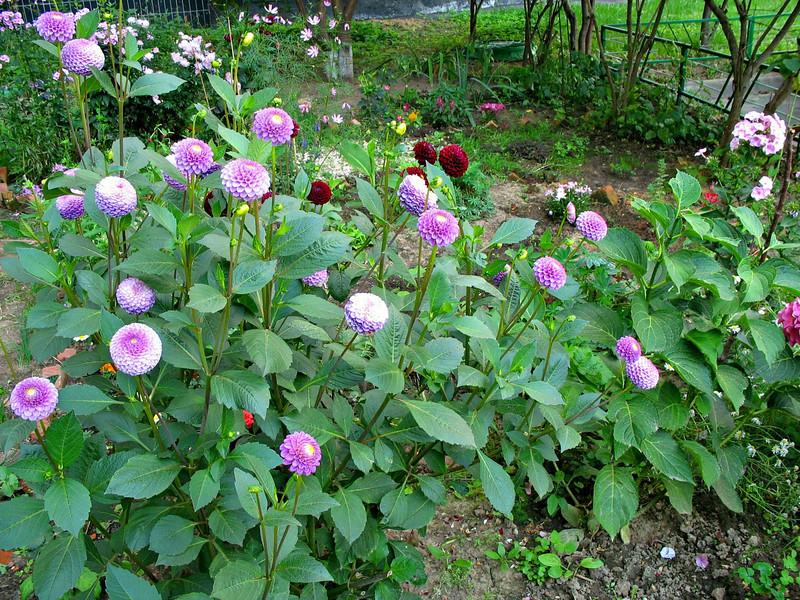Garden - Purple puffs. (2008)