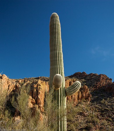 Saguaro Cactus, Superstition Mountains