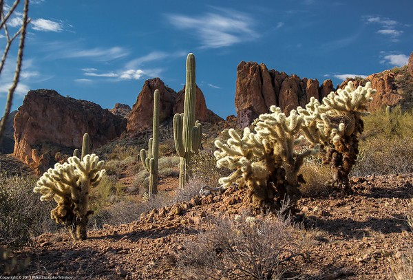 Saguaros and Teddy Bear Choallas, Superstition Mountains
