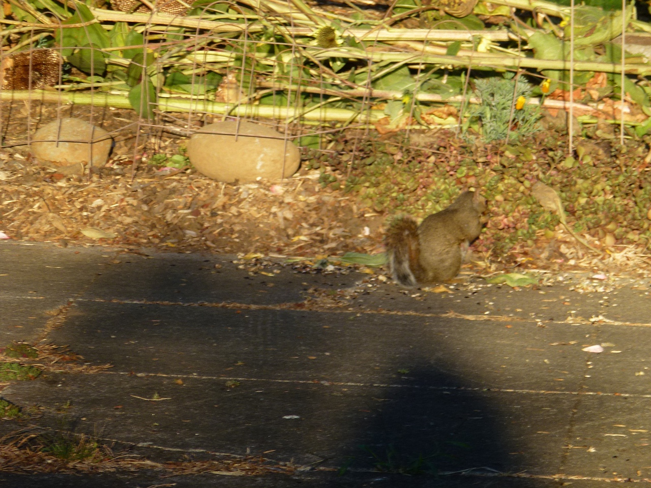 Evening walk around a few  blocks in Portland,Oregon, saw a few Squirrels on the walk, but they are hard to photograph, move so dam quick.