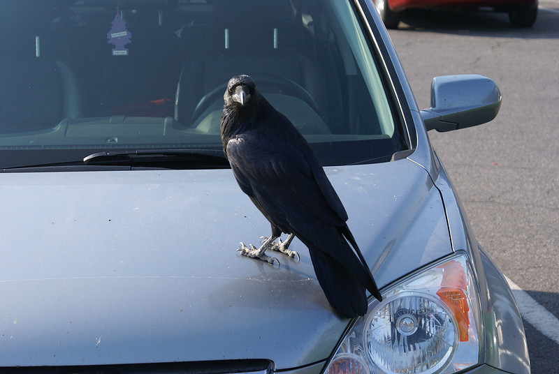These ravens are like our keas and can strip the rubber off a car.this one looked as if it was up to no good