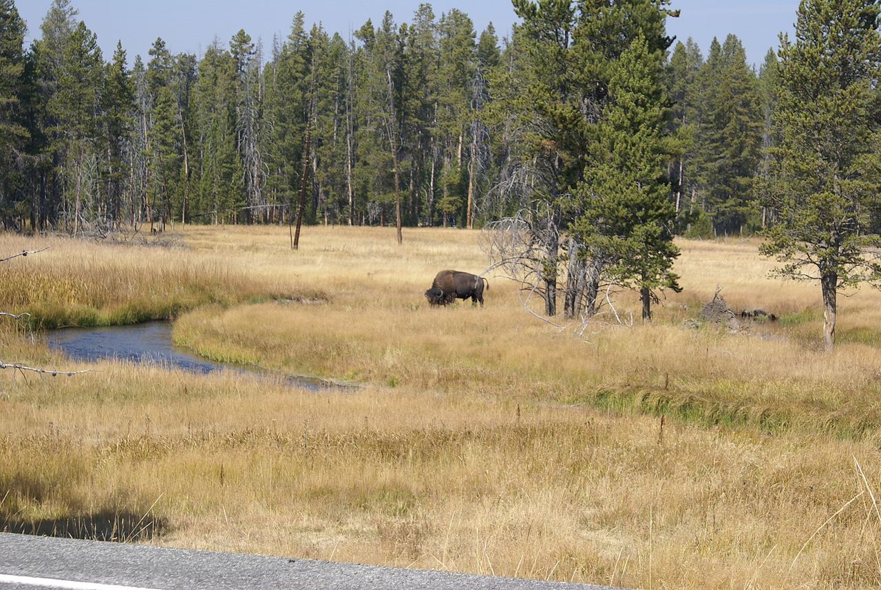 Spotted our first buffalo in the park