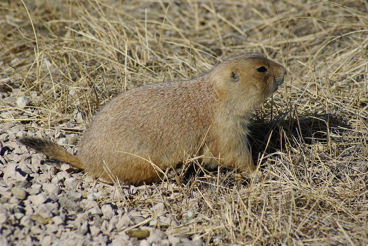 These fat little critters were at Roberts Town ( the name of the colony )Prairie dogs are so cute.