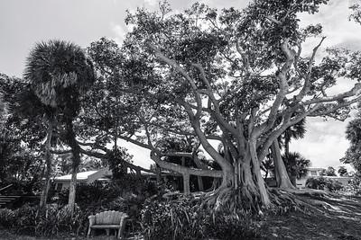 USEPPA Banyan from beach 2 BW