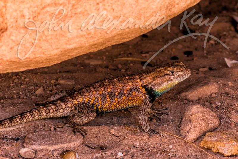 Desert Spiny Lizard