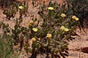 Common Prickly-Pear (<i>Opuntia erinacea</i>)