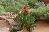 Wild Rhubarb (<i>Rumex hymenosepalus</i>)