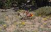 Claret Cup (<i>Echinocereus triglochidiatus</i>)& Golden Mariposa Lily (<i>Calochortus aureus</i>)