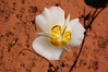 Sego Lily (<i>Calochortus nuttallii</i>)