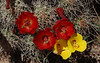 Claret Cup (Echinocereus triglochidiatus)