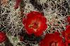 Claret Cup (<i>Echinocereus triglochidiatus</i>)