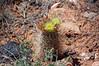 Whipple's fishhook (<i>Sclerocactus whippleii</i>)