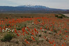 Field of Globe Mallow, with La Sal Mountains behind, northeast of Moab