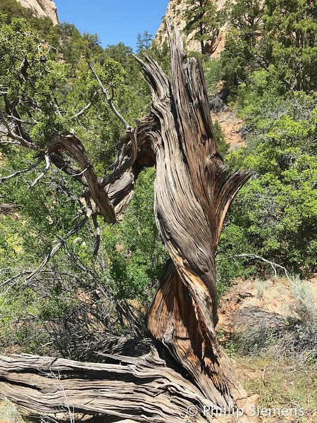 Twisted Juniper