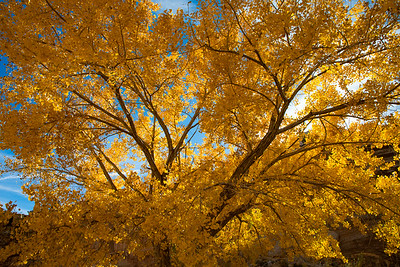 Cottonwood In Fall Glory, Capitol Reef National Park, Utah
