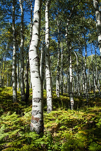 Ferns and Aspen, Wasatch National Forest, Utah