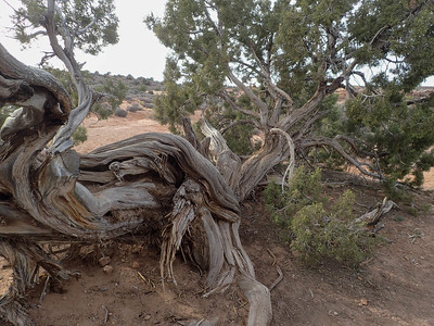 Arches NP , Ed Abbeys Home site and Junpier Tree