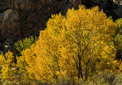 Cottonwoods in Cottonwood Canyon - Grand Staircase-Escalante NM