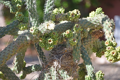 """Look closely and you will see a nest within the cactus """"branches.""""  Within the nest is what we believe to be a Cactus Wren sitting on her eggs."""