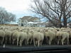 Passing through Aurora, we meet a sheep drive ahead of us