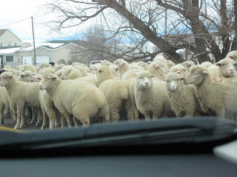 We inch our way forward through the flock of sheep