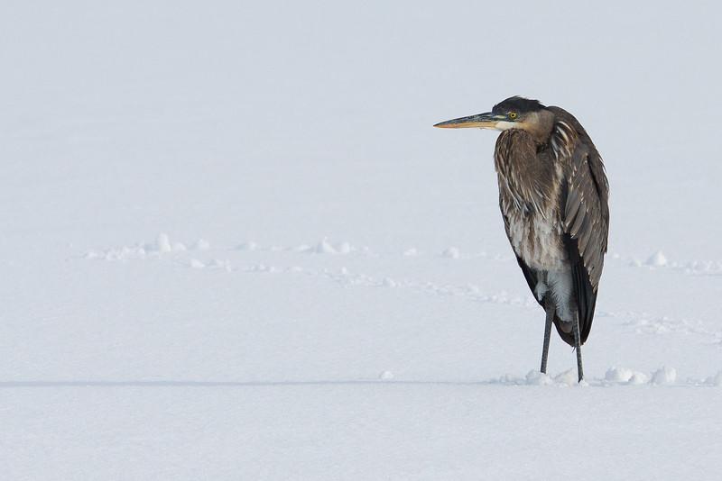 Great Blue Heron - Farmington Bay