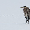 Great Blue Heron - Farmington Bay