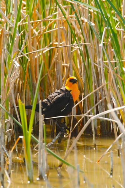 Yellow-headed Blackbird in Habitat