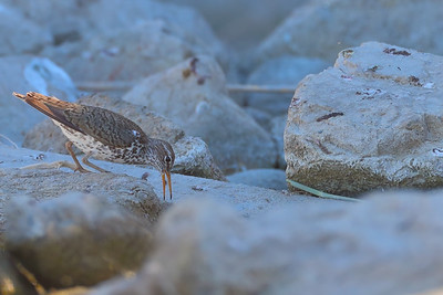Foraging Spotted Sandpiper