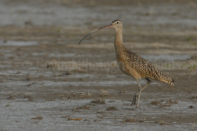 Alert Long-billed Curlew