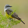 Western Kingbird on Sage-brush