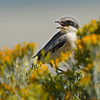 Loggerhead shrike on sagebrush