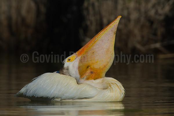 Pelican gulping behavior