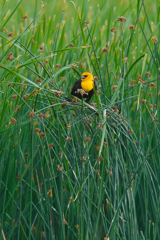 Yellow-headed Blackbird in Habitat