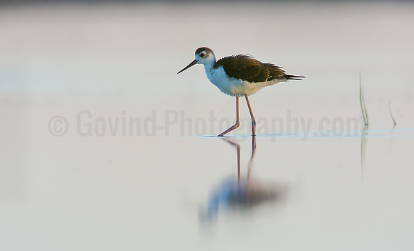 Juvenile Black-necked Stilt in Evening Light