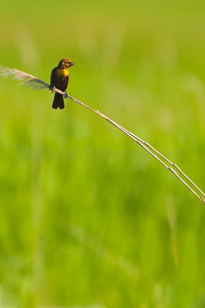 Yellow-headed Blackbird Fledgeling