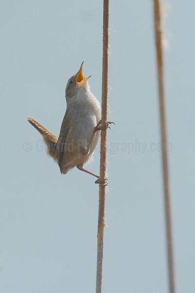 Singing Marsh Wren