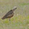 Preening Long-billed Curlew