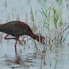 Feeding White-faced Ibis