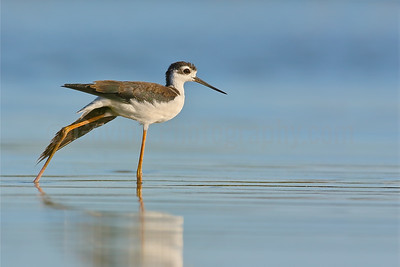 Juvenile Black-necked Stilt
