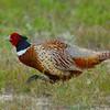 Ring-necked Pheasant (M)